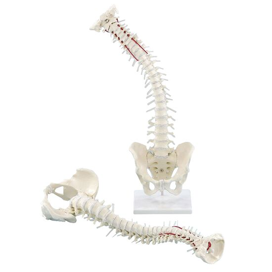 Erler Zimmer Flexible Spine with Pelvis and Stand