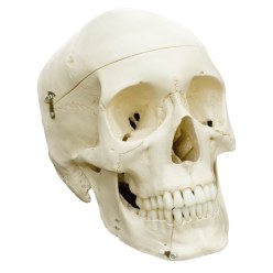 4-Part Skull – Standard / Anatomical Model